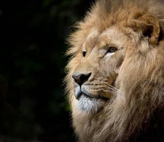 tatuaggio leone